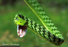 The Strike! (thilankara) Tags: nature wildlife lanka srilanka snakes reptiles greenvinesnake