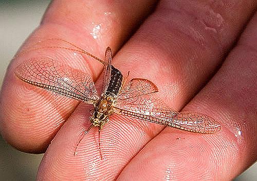 Large Drake Mayfly