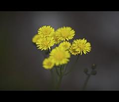 The Weed (il chirurgo matto ) Tags: ireland irish flower yellow closeup weed aperture bokeh background hibernia macdesktop connaught macosxdesktop macintoshdesktop 5dmk2 canon5dmarkii gettyimagesireland gettyimagesabstract summertimeireland hawk´sbeard