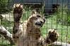 Paws (JSleeper) Tags: oregon snowleopard greatcatsworldpark