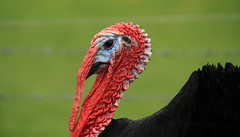 """Gobbler - ugly or gorgeous? (Susan SRS) Tags: red england bird dinner turkey gorgeous ugly prehistoric gobbler img8140 lickraward flickraward5"""""""