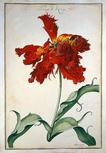 003-tulipan3-Karlsruher Tulpenbuch - Cod. KS Nische C 13- Badische LandesBibliotheK