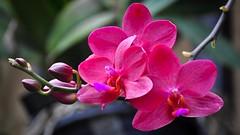Orchid (school40) Tags: longwood wonderfulworldofflowers