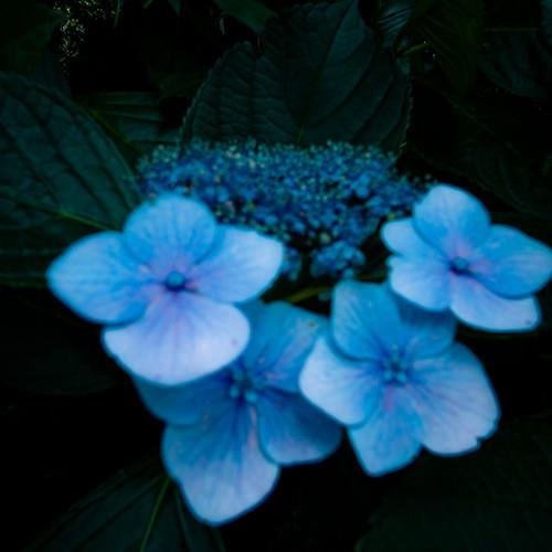 Windy Blue Hydrangea