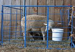 Lambing jug