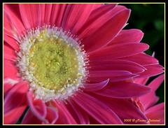 Corona regale.....rx (Mauro Bettarel) Tags: pink flowers macro nature colors natura dettagli fiori