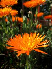 orange spring. (*northern star) Tags: flowers orange plants sun plant flower macro verde green primavera nature canon spring colours d natura explore fiori sole fiore piante coloured
