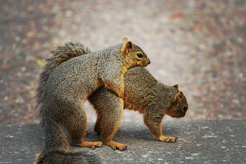 squirrel sex