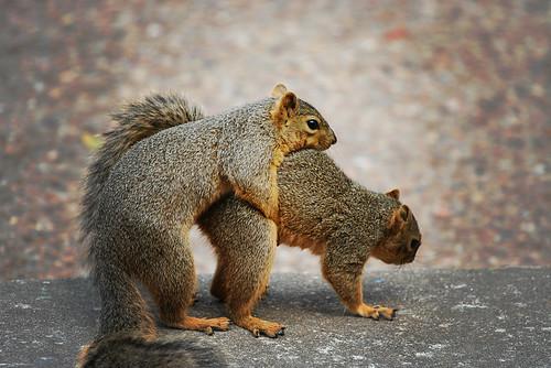 Squirrel Sex 100