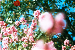 any moment about freaky lady !! (Twiggy Tu) Tags: trip flowers blue sky film japan nikon kyoto 2008 fm2 ilovepeachcolor