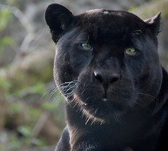close encounters:  panther (lesbru) Tags: portrait black greeneyes panther bigcats edinburghzoo d40x steadygaze