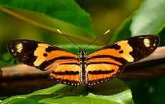 Borboleta (Pedro Cavalcante) Tags: butterfly fuji papillon borboleta finepix fujifilm mariposa farfalla sommerfugl schmetterling vlinder  naturesfinest   6500 s6500 s6500fd impressedbeauty finepixs6500 theunforgettablepictures finepix6500 goldstaraward pedrocavalcante
