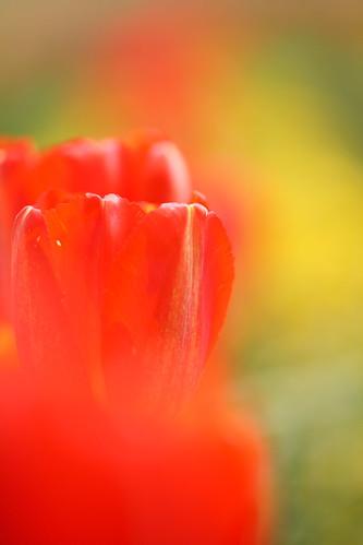Tulip =)