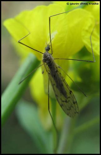 Mosquito by Gaurav Dhwaj Khadka