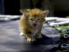 Watch Your Back (Domain Barnyard) Tags: vegas orange pet cats baby cute animal cat kitten feline lasvegas tiger nevada kitty trampoline best scarey april meow f56 2008 frightful novideo tingey thecatsmeow domainbarnyard 76mm 123cats 123animals canoneos40d