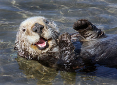 Southern Sea Otter (Ron Wolf) Tags: california nature mammal wildlife otter mosslanding enhydralutris specanimal
