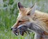 Fox Vixen - Karns Meadow, Jackson, WY (Dave Stiles) Tags: fox redfox vulpesvulpes naturesfinest jacksonwy specanimal foxvixen bfgreatesthits goldwildlife onephotoweeklycontest karnsmeadow