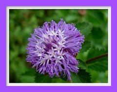 Lavender Beauty....Centratherum punctatum Cass (ArunaR) Tags: park flower garden flora sony lavender kerala asteraceae aruna thrissur centratherumpunctatumcass vazhani