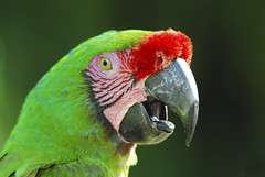 Parrot - obviously ('PixelPlacebo') Tags: red green bird colors indonesia nikon ominous parrot d200 ornithology ara obyious