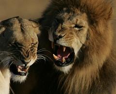 Mating (Lyndon Firman) Tags: africa nature kenya lion mating lioness outpost masaimara impressedbeauty platinumheartaward jediphotographer