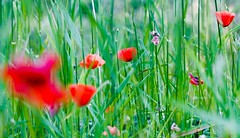 Poppies in the Field (Paul Swortz) Tags: flowers usa flower oregon poppy poppies gras 2008 swortz huginkiss oregonjune2008