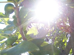 sun in the figues