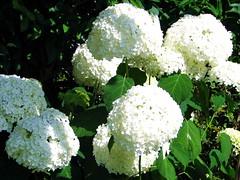 Schneeballhortensie (Martin Volpert) Tags: flower blossoms blumen hydrangea garten hydrangeaceae gartenhortensie mavo43 schneeballhortensie