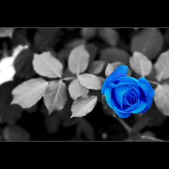 Rosa Blu (Sergio Verrecchia - Digital Imaging Technician) Tags: blue bw rose nikon niceshot blu rosa bn envy breathtaking naturesfinest blueribbonwinner supershot bej amazingcapture mywinners d40x citrit artistsoftheyear proudshopper theperfectphotographer goldstaraward arealgem highqualityimages qualitypixels sergioverrecchia screamofthephotographer colorsofthesoul platinumgolddoubledragonawards doubledragonawards mallmixstaraward livuinglifethroughalens