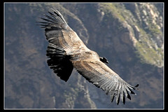 Condor del Caon del Colca, Peru... ([cation] (totally off...)) Tags: travel viaje bird peru southamerica birds nikon valle valley andes vol condor arequipa oiseau colca vuelo caon perou d300 cation americadelsur vulturgryphus cordilleradelosandes p1f1 cordilleredesandes