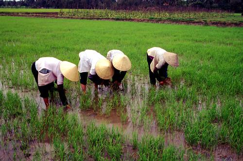 Renaître de ses cendres de deux guerres, le Vietnam n'est pas seulement capable d'atteindre le riz auto-suffisance, mais il est aussi le deuxième exportateur mondial de riz.