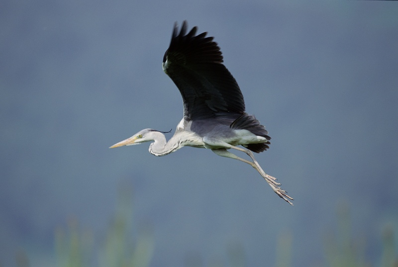 flying heron.jpg