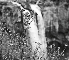 waterfall and wildflower 2 (ajpenziner) Tags: snoqualmiefalls