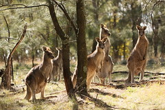 A mob of grey kangaroos (kasia-aus) Tags: nature animal grey australia kangaroo canberra universityofcanberra 2008 act greykangaroo