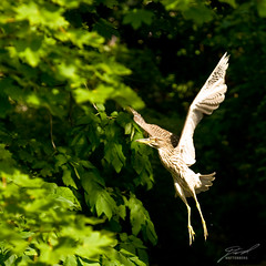 Young Black-Crowned Night-Heron In Flight