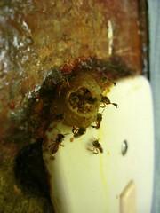 trabajaNdo (▲▼▲▼▲▼▲▼) Tags: naturaleza animal detalles insecto panal interruptor angelitas avsipa