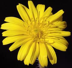 Dandelion (cocoi_m) Tags: california nature yellow dandelion sanmateocounty lahonda macrophotograph themacrogroup awesomeblossoms extremeflowermacro flickrflorescloseupmacros
