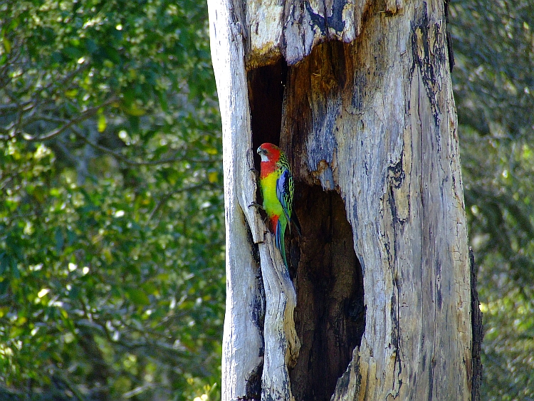 one eastern rosella parrot