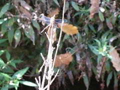 Dragonfly (Nemoleon) Tags: dragonfly trastevere ortobotanico 2008september