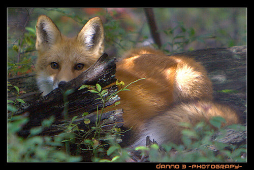 red fox. The red fox Vulpes vulpes is a