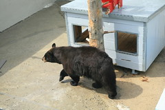 Clark's Trading Post Bear Show