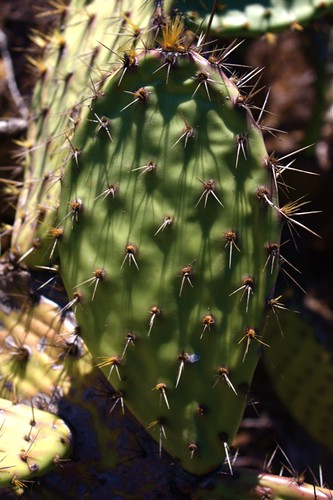 Prickly Pear Paddle