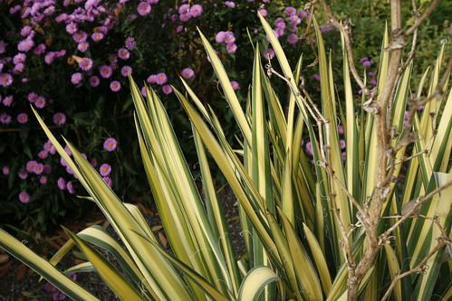 Variegated yucca at Joy Creek Nursery