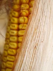 kukorica - Smena macro / corn (.e.e.e.) Tags: plants macro nature lomo corn hungary olympus adapter mf soe manualfocus smena 43 e400 legacylens