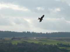 Red Kite Quartering (Dennis@Stromness) Tags: uk red wild kite nature birds rural scotland britain farm wildlife raptor dumfries dumfriesgalloway galloway redkite rspb milvusmilvus dumfriesshire gallowaykitetrail bellymack kitetrail