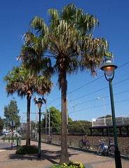 Cabbage Tree Palm (Spikebot) Tags: australia nsw umina brisbanewater pc2257 woywoy pc2256 auspctagged brokenbay railwaystreet woywoypeninsula ettymalongcreek australiannativefloraplants