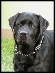 Tristeza (Canoso.) Tags: dog chien co cane labrador negro retriever perro greatshot canoso