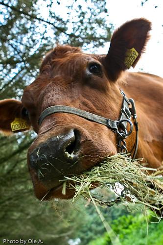 Ole A님이 촬영한 Cow.