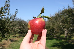 Tempting... (TomFlikrPhotos) Tags: york autumn red fall apple kids virginia harvest orchard delicious