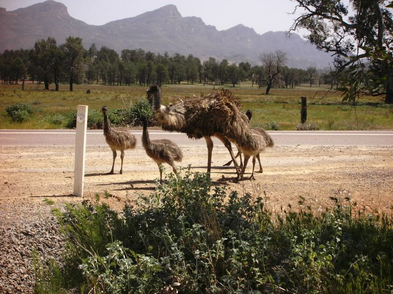 EMU'S AT WILPENA