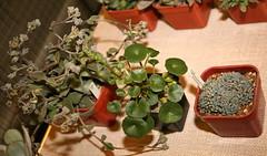 Crassula mesembryanthemopsis, Umbilicus sp. & Lenophyllum pusillum
